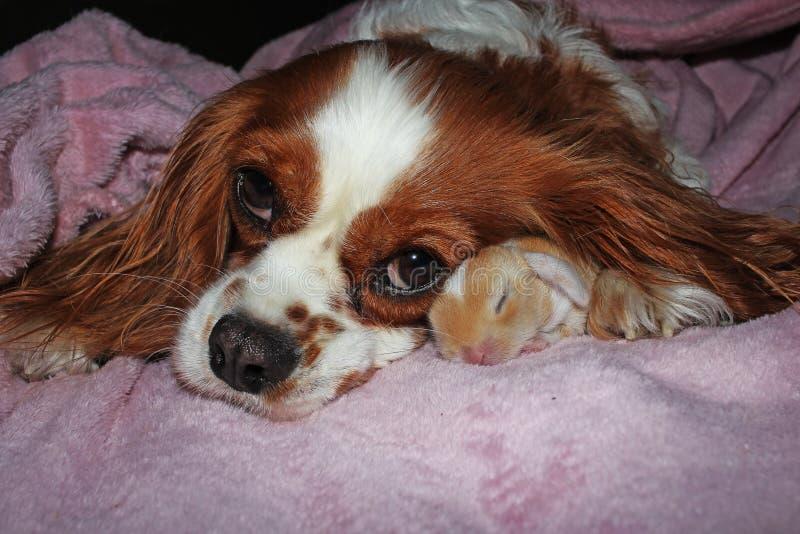 Instinto bonito do cão e do jogo recém-nascido do coelho dos animais da mãe junto para adotar a adoção do conceito imagens de stock