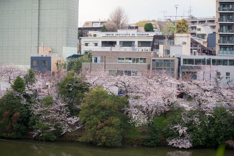 Instituto de Tokio del turismo y de los árboles de Cherry Blossom y flores Sakura en Tokio fotos de archivo