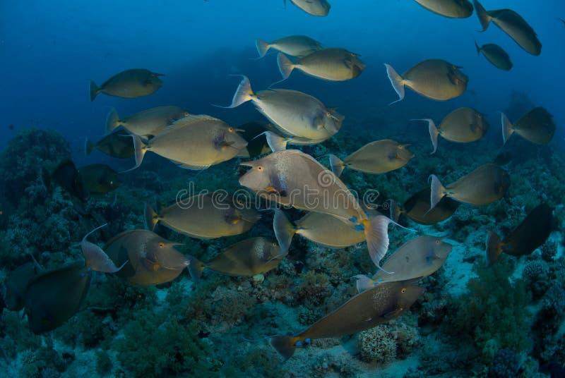 Instruction des poissons de licorne, la Mer Rouge, Egypte. photos libres de droits