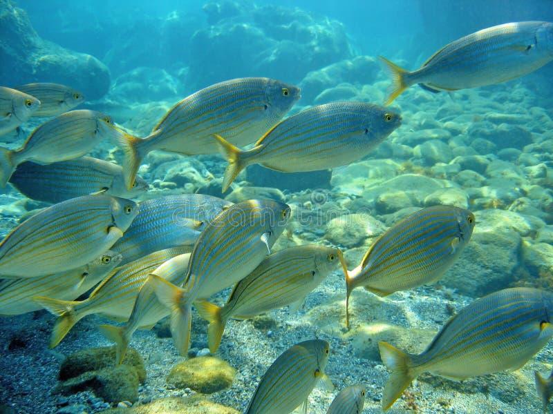 Instruction du salpa de Sarpa de poissons de dorade photographie stock libre de droits