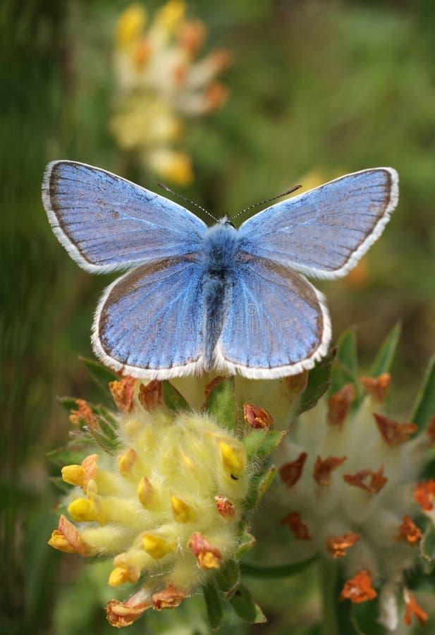 Instruction-macro bleu de guindineau (polyommatus Icare) photos stock