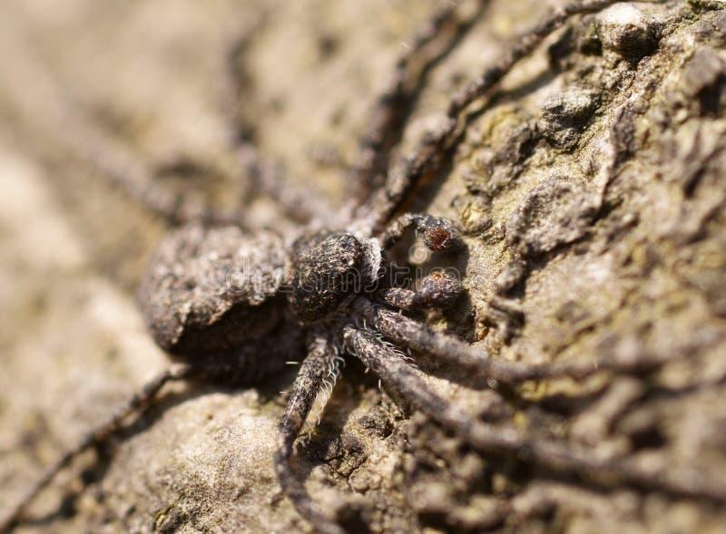 Instruction-macro d'araignée de crabe sur un arbre photo libre de droits