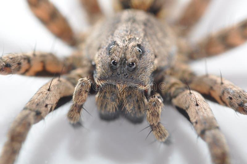 Instruction-macro d'araignée de loup photographie stock libre de droits