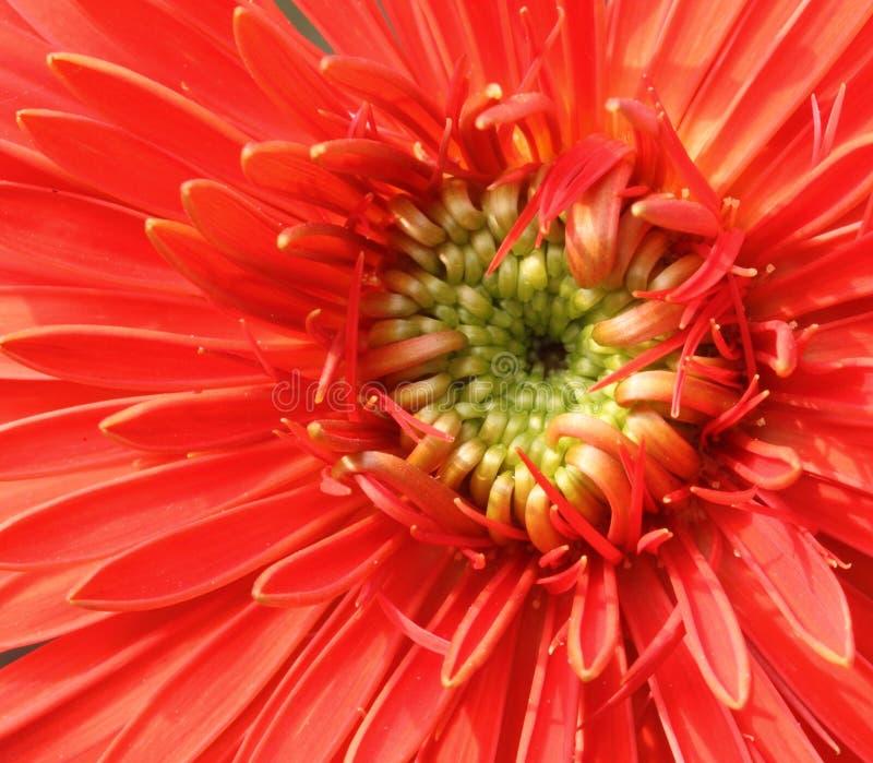 Instruction-macro d'une fleur de gerbera photos libres de droits