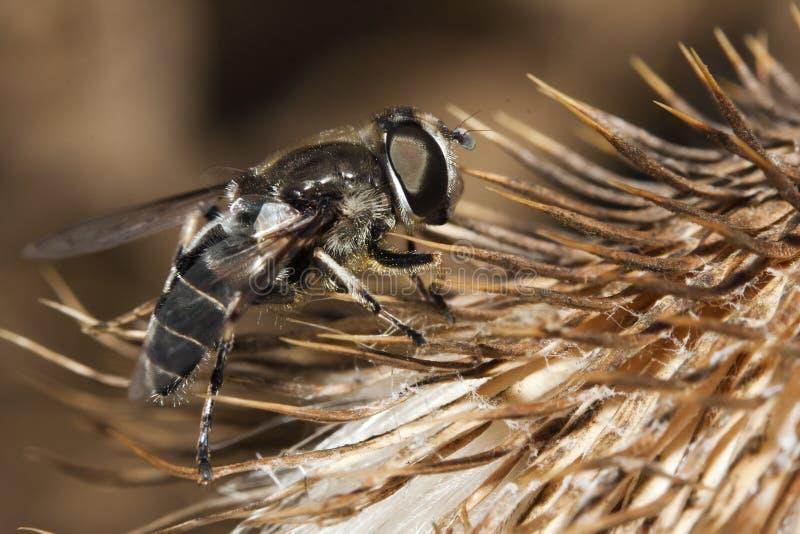 Instruction-macro d'une mouche sur une fleur image stock