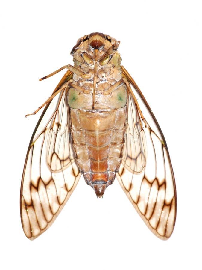 Instruction-macro de cigale d'insecte image libre de droits