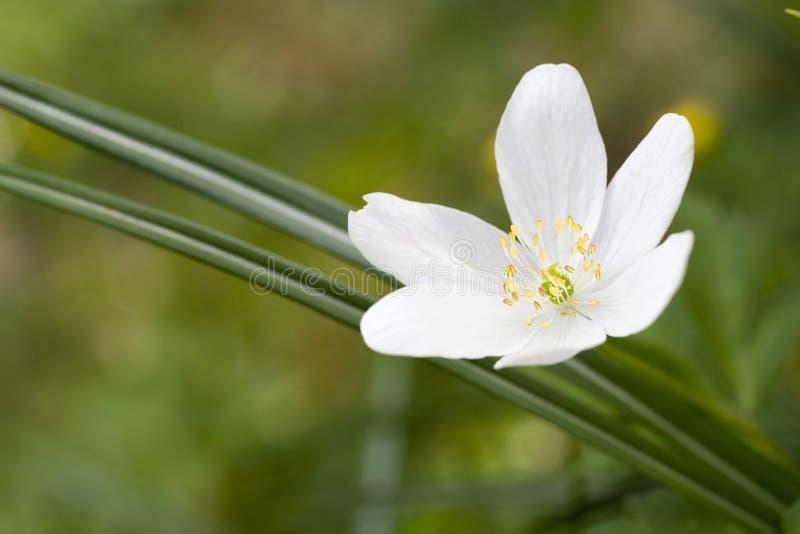 Instruction-macro de fleur blanche photo libre de droits