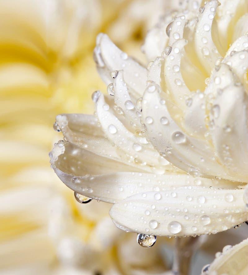 Instruction-macro de fleur de chrysanthemum photos libres de droits