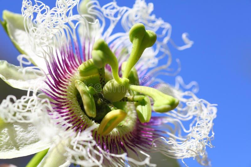 Instruction-macro de fleur de passiflore comestible de passiflore images stock