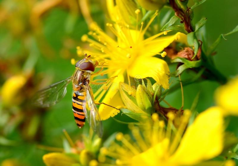 Instruction-macro de Hoverfly images stock