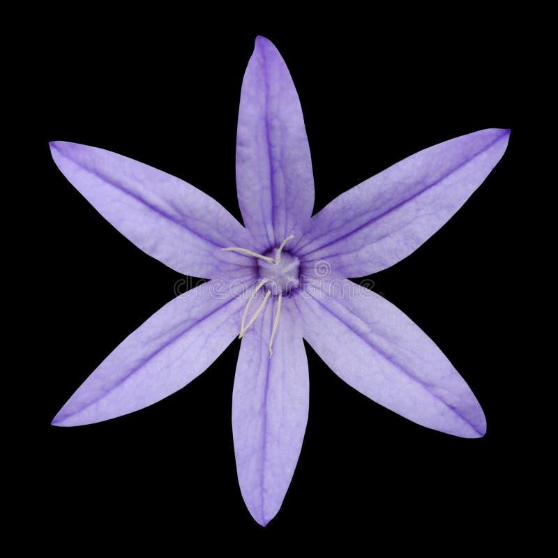 Instruction-macro de la fleur de pétale du pourpre six d'isolement sur le noir image libre de droits