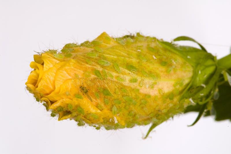 Instruction-macro de Rose jaune infesté par des poux photo stock