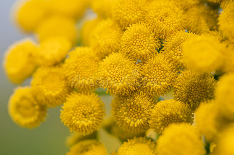 Instruction-macro de Tansy photo stock