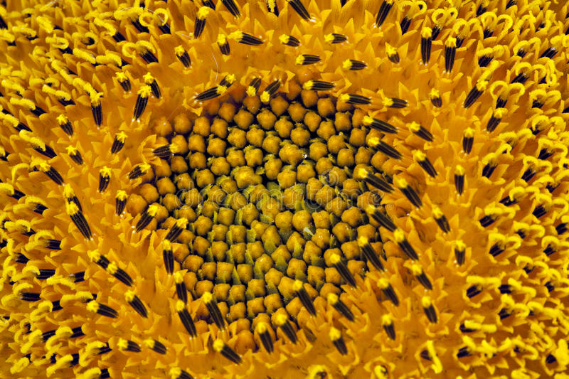 Instruction-macro de tournesol photos libres de droits