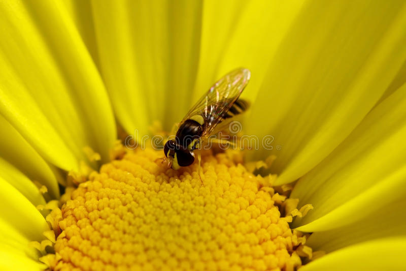 Instruction-macro jaune de marguerite images stock