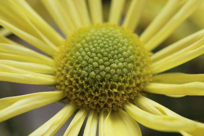 Instruction-macro jaune de marguerite photo stock