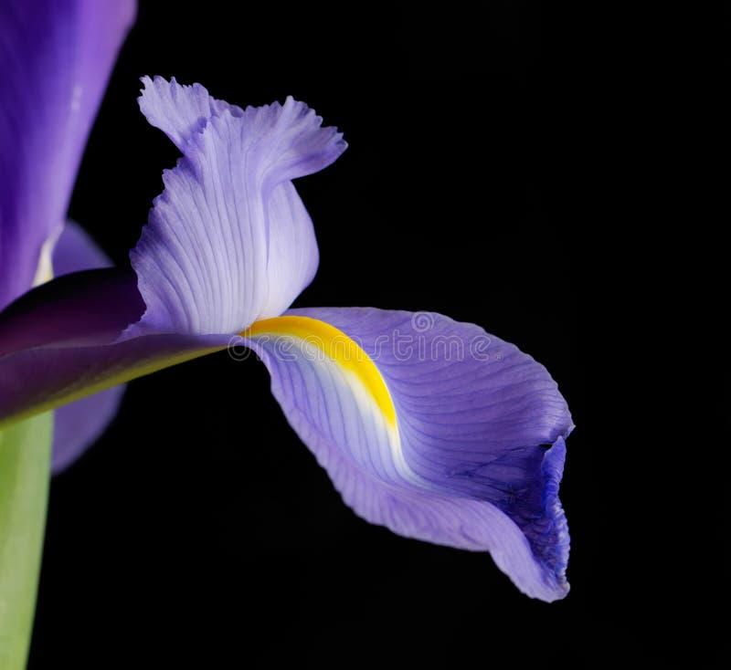Instruction-macro pourpré d'iris photographie stock