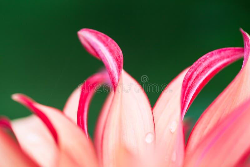 Instruction-macro rose de fleur photo libre de droits
