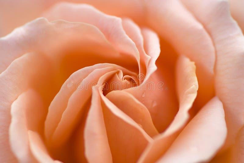 Instruction-macro rose de rose images stock