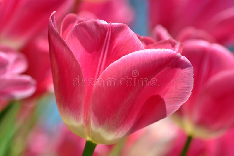 Instruction-macro rose de tulipe images libres de droits