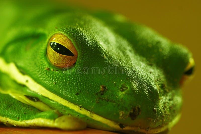 Instruction-macro vert de grenouille d'arbre photos stock