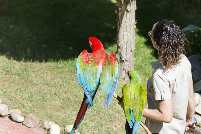 Instructor de la mujer que sostiene loros del macaw Demostración de los loros fotografía de archivo