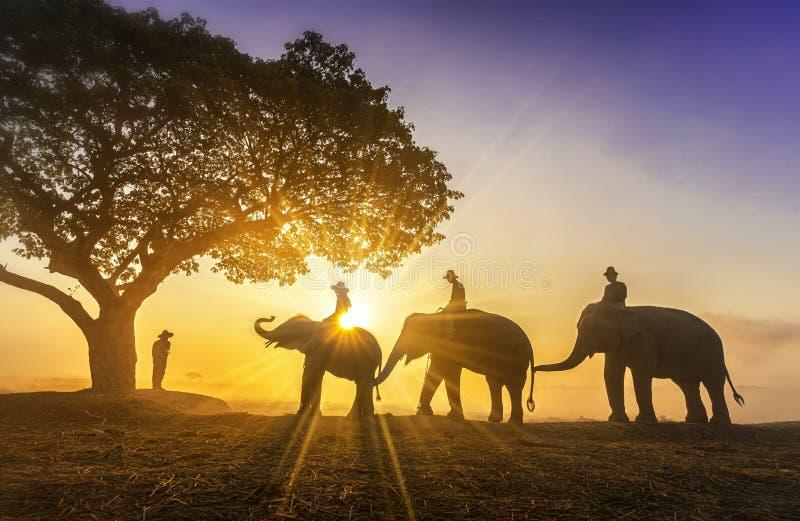 Instructor del elefante y mahout tres con tres elefantes que caminan a un árbol durante una silueta de la salida del sol Estilo d foto de archivo