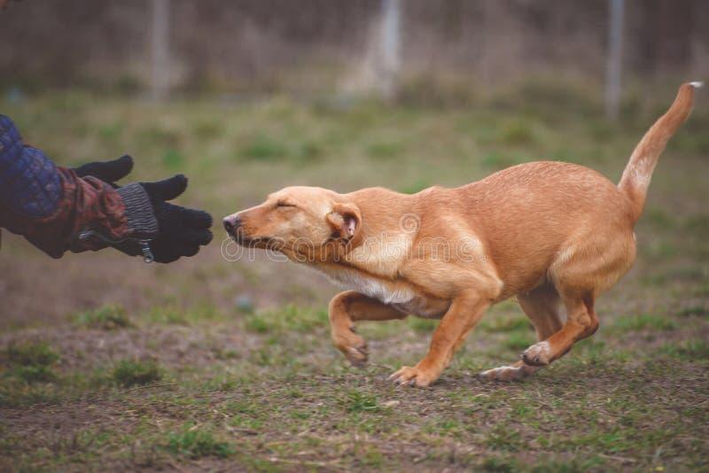 Instruktör och hennes hund i processen av socialization arkivfoto