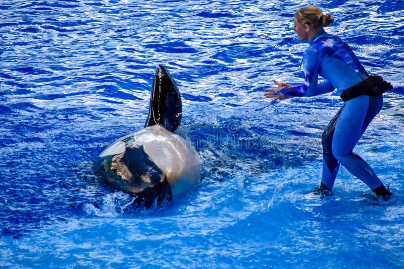 Instrutor da mulher que guia uma orca para aumentar sua aleta em Seaworld foto de stock royalty free