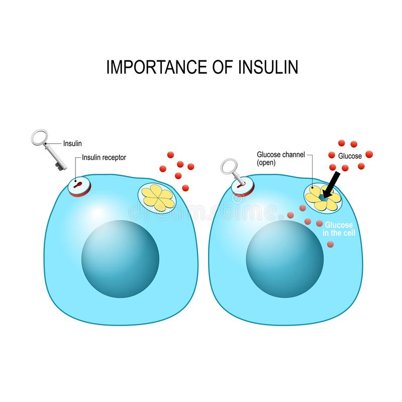 Insulin acts as the key which unlocks the cell to allow glucose to enter the cell and be used for energy royalty free illustration