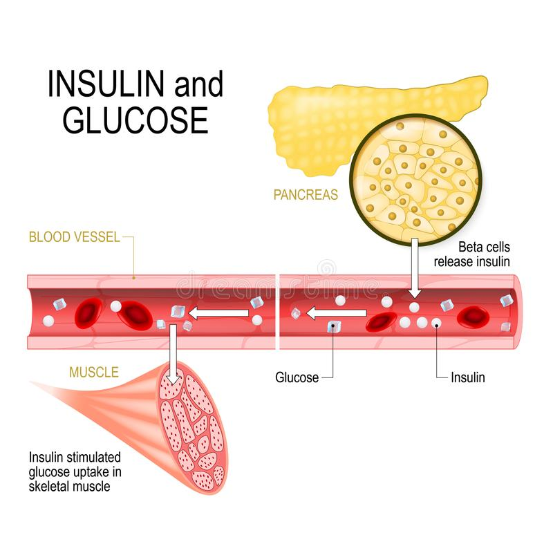 Insulin in pancreas and glucose in muscle vector illustration