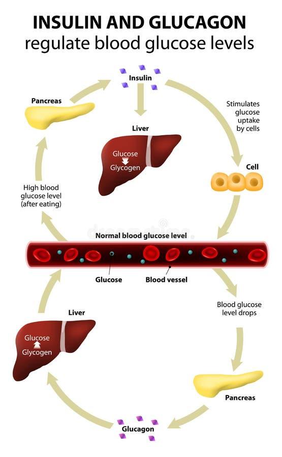 Insulin och glucagon royaltyfri illustrationer