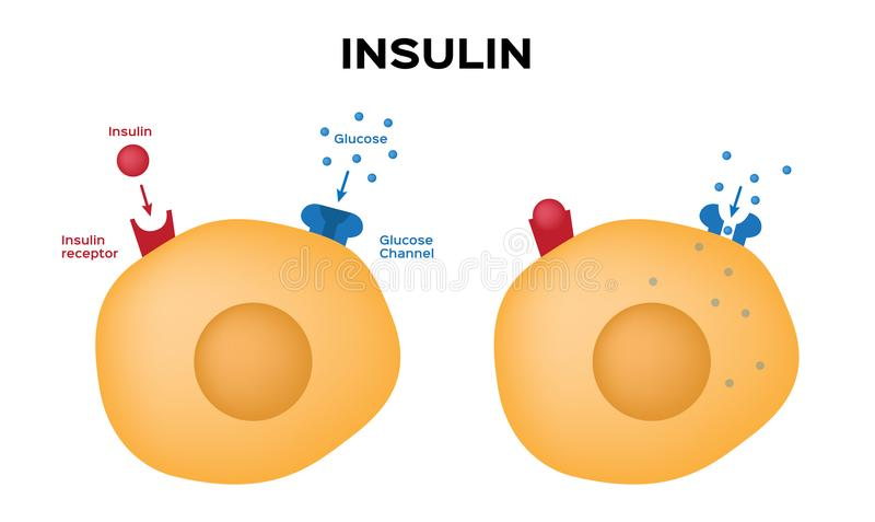 Insulin unlocks the cell`s glucose channel royalty free illustration