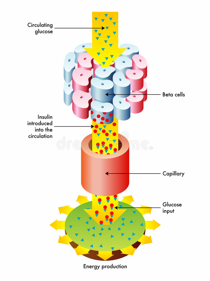 Insulinausschüttung und Funktion vektor abbildung