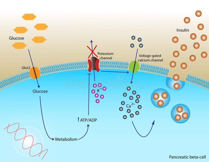 Insulineafscheiding vector illustratie