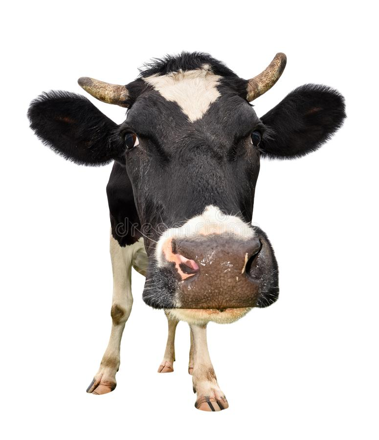Intégral de ¡ de Ð aïe d'isolement sur le blanc Regardant la fin curieuse noire et blanche de vache à appareil-photo  Fin drôle d photo libre de droits