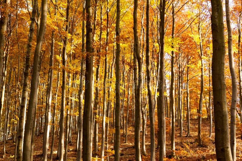 Intérieur d'Autumn Beechen Forest, montagnes de Sulov, Slovaquie photos stock