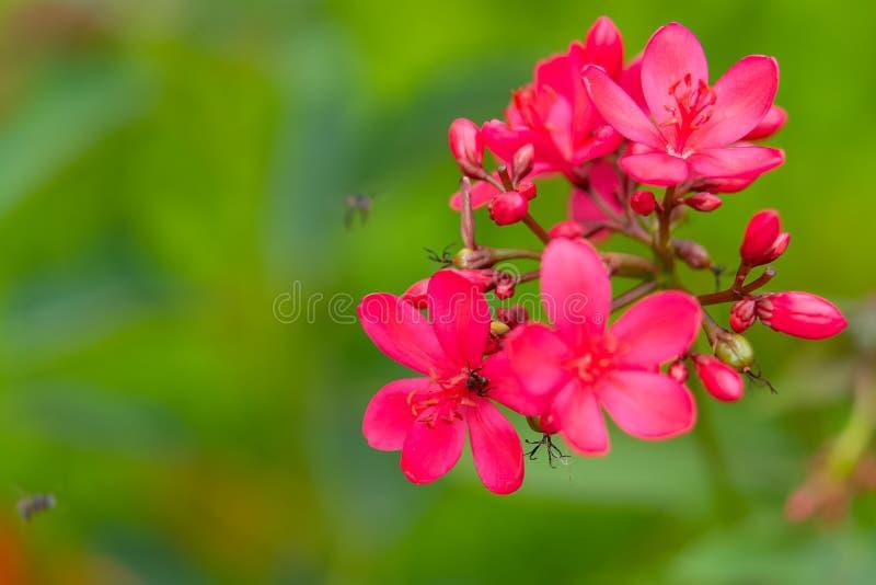 Integerrima Jacq, las flores rojas brillantes del Jatropha en el parque foto de archivo