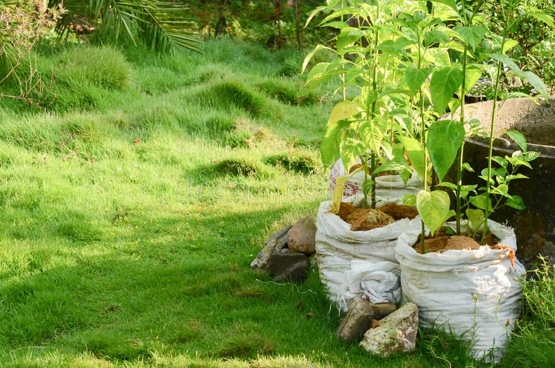 Agricultural system in Thailand, Name is Thailand`s Sufficiency Economy,pepper in white pot. Integrated Farming System by planting two or more plant in the same stock image