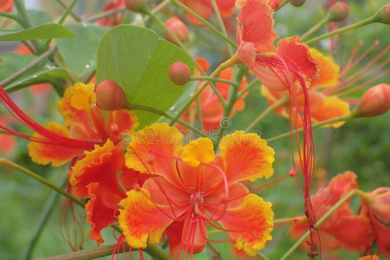 Inteiramente as flores de pavão da flor imagem de stock