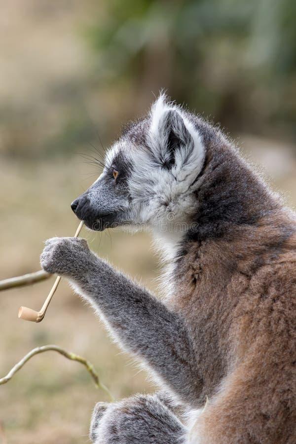 Inteligencia animal Imagen divertida de un contemp inteligente del lémur imágenes de archivo libres de regalías