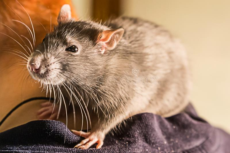 Intelligent hand beast rat gray big fluffy sitting on shoulder close-up looking with surprise royalty free stock photos