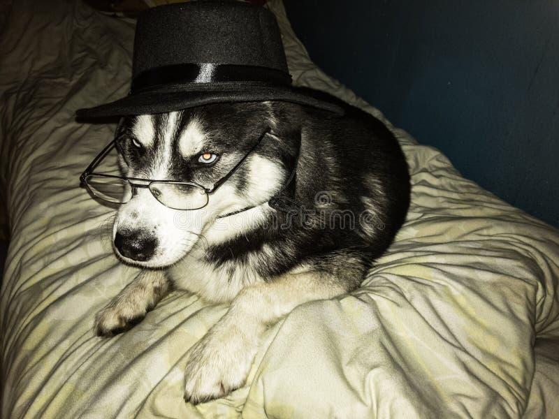 Intelligent hund med exponeringsglas och det svarta locket som lägger på säng fotografering för bildbyråer