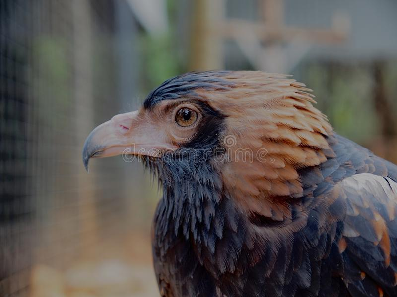 Intelligent Independent Black-Breasted Buzzard with Magnificent Plumage. stock photo