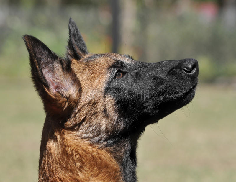 Intelligent puppy Malinois royalty-vrije stock afbeelding