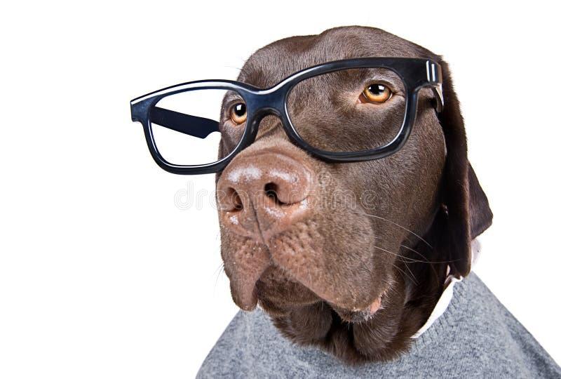 Intelligente schauende Schokolade Labrador stockfotos