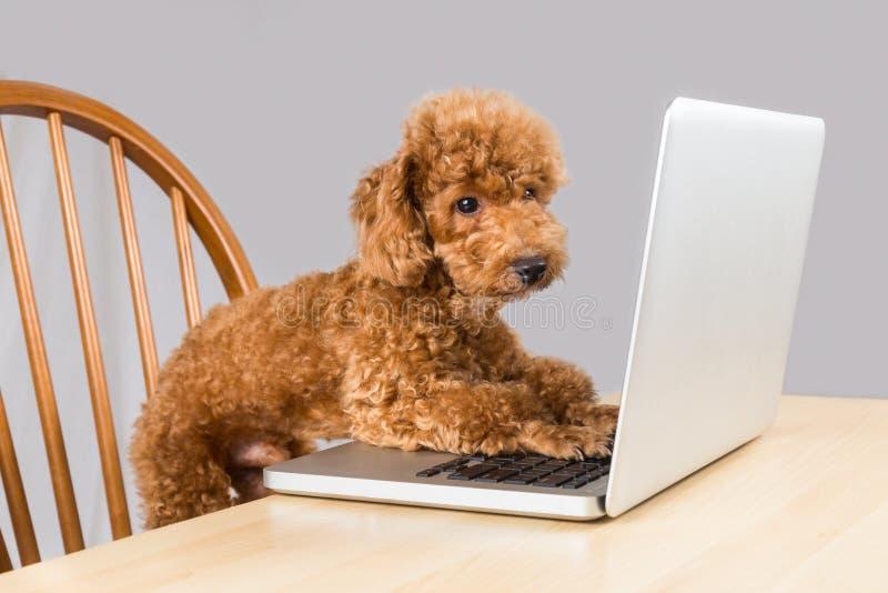 Intelligenter brauner Pudelhund, der Laptop-Computer auf Tabelle schreibt und liest stockbild