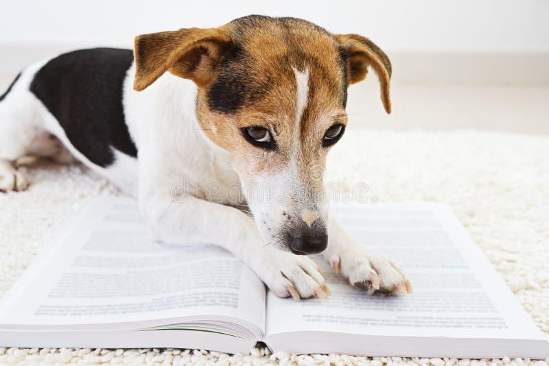 Intelligenter netter Hund, der mit einem offenen Buch liegt und Seiten betrachtet lizenzfreies stockbild