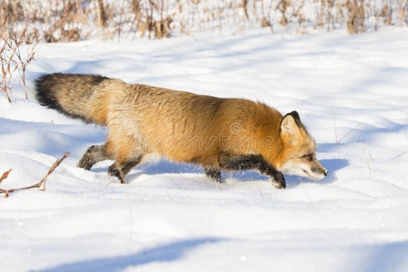 Intenção da raposa vermelha na rapina de travamento imagens de stock royalty free