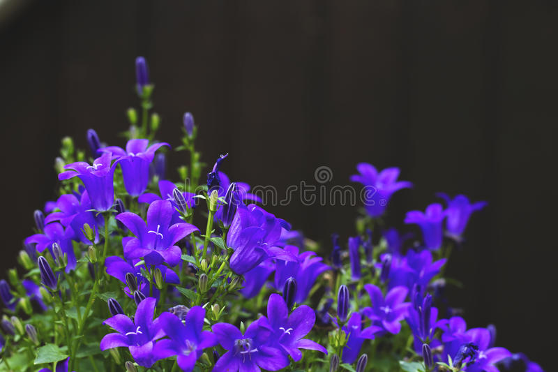 Campanules purple flowers royalty free stock photos